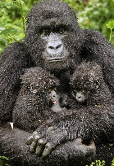 Twin hope  COMMENDED: The Gerald Durrell Award for Endangered Species  Diana Rebman USA