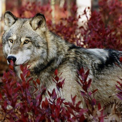 Intensely stunning wolf photo.