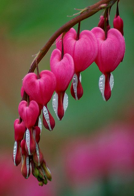 Bleeding Hearts; this is a beautiful tree. You can take the seeds out of the heart, dry them, and toss them back in the soil. Another will grow (eventually).