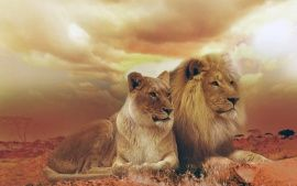 Femle Male Lions