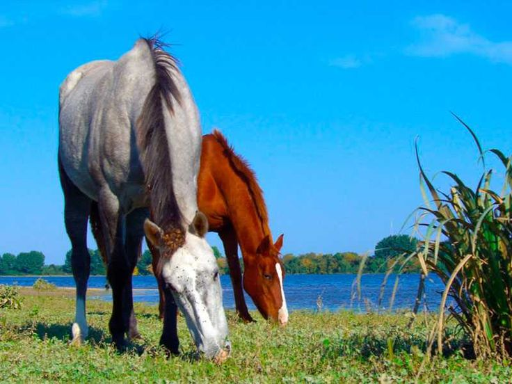 Horses grazing at Tagus river - Portugal