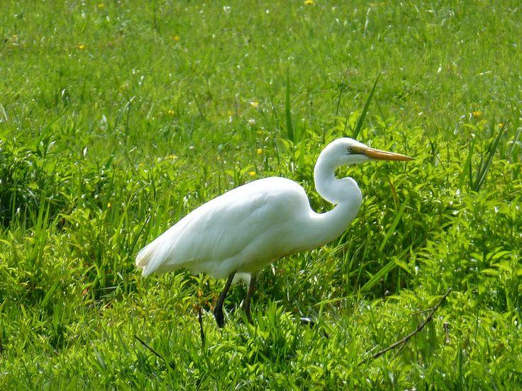 White Heron habitat