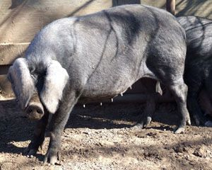 Critically endanfered Large Black pig, Livestock Conservancy. Excellent choice for forage based systems.