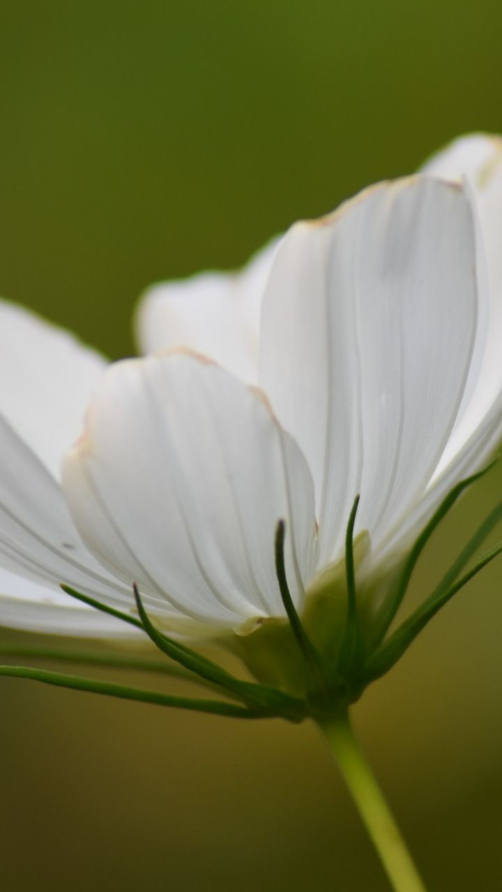 White Cosmos Bloom Flower Close Up 720x1280 Wallpaper Flower Close Up White Cosmo Cosmos Flowers