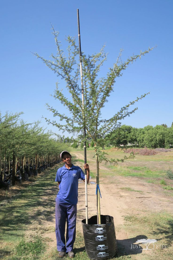 100L Fever Tree. This specimen is a popular choice for landscapers and gardeners not only because of its attractive and contrasting-coloured bark and sweetly-scented flowers but it is also incredibly fast-growing under ideal conditions, growing at about 1.5m per year.