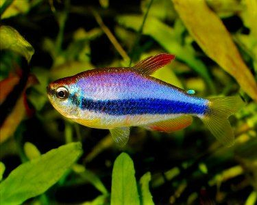 25 Best Ideas About Tetra Fish On Pinterest Freshwater