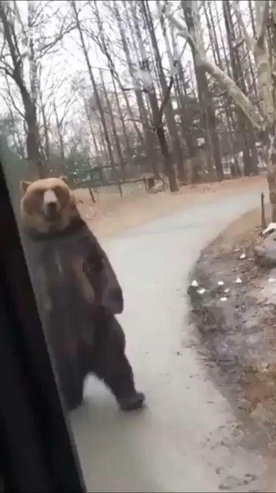 Bear cute walk 😎