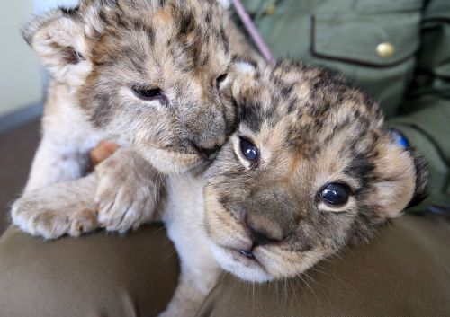 4/7富士サファリパーク:「ミャー」ライオンの双子公開へ - 毎日新聞