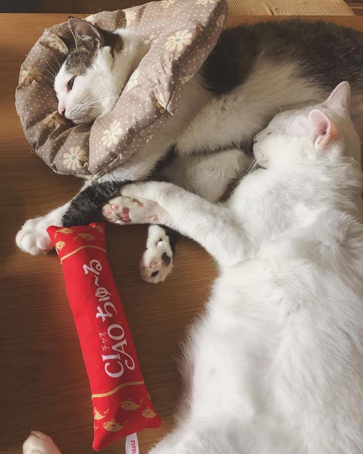 仲良し寝♡♡ 八『わぁ…おこちゃんからボクに甘えてる❤︎うれしいなぁ…❤︎』 いつもハッチャンがおこちゃんの事好きすぎてハッチャンから甘えてるけど、今日はおこちゃんからハッチャンのお腹にお顔うずめてる♩ 今日も頑張るぞ〜\⍩⃝/行ってきま〜す☀︎ #八おこめ #ねこ部 #cat #ねこ #仲良し寝