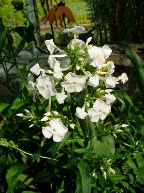 Phlox paniculata Fuijyama 70 cm, čistě bílý, malé květy tvoří velké laty, polopozdní, VI-VIII, B2, kontejner 9x9 cm
