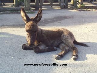 New Forest donkey foal near The Forresters Pub Frogham