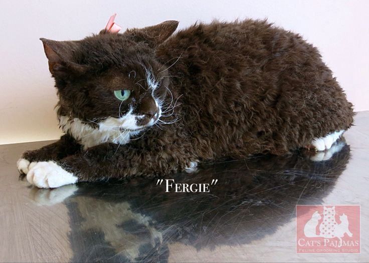 """Devon Rex """"Fergie"""". Amazing chocolate curly coat, and a sweetie too!"""