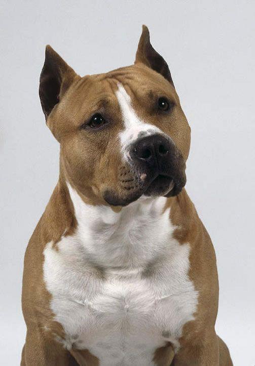 Ataları Bulldog ve çeşitli Terrierlerden oluşmaktadır. Amerika'ya getirilince daha çok tercih edilen bir ırk olarak geliştirildi ve kas gücü artırılarak daha güçlü bir köpek haline getirildi. Önceleri kavga amaçlı olarak kullanılan bu ırk Amerika'da köpek dövüşlerinin yasaklanmasından sonra şov amaçlı olarak günümüzde kullanılmaktadır. Ayrıca Amerikan Staffordshire'nin yetenekleri arasında bekçilik, koruma ve çeviklikte bulunmaktadır.