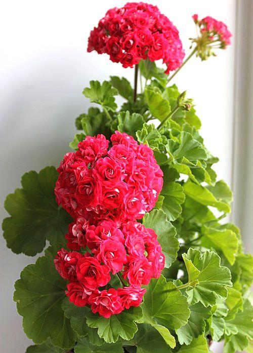 Обильно цветущая пеларгония Rosebud Supreme