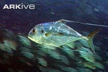 Shoal of African pompano swimming
