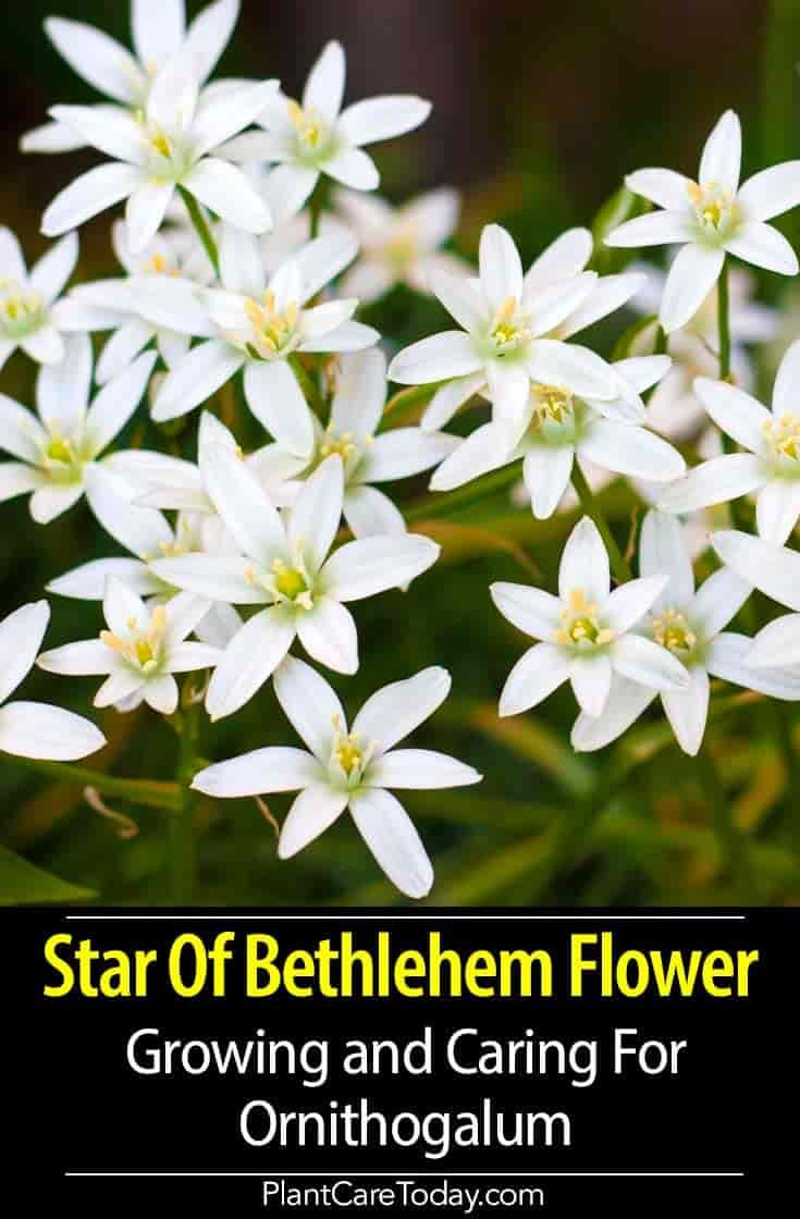 Ornithogalum How To Grow And Care For Star Of Bethlehem Flower