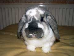 If your rabbit develops an eye infection, there's no need to panic. Rabbit eye infection treatment doesn't have to be a scary prospect. Symptoms of eye infection include puss in and/or around the eyes, bleeding or swelling in the eye region, excessive tearing, and rabbit hair loss around the eye sockets. There are several things