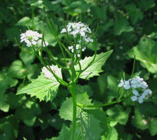 Mature Garlic Mustard plant can be an invasive species, so worth planting in a container. Shoots are edible.
