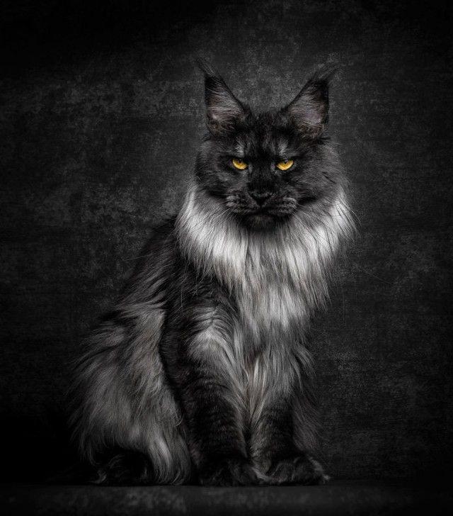 Мейн-кун, кот