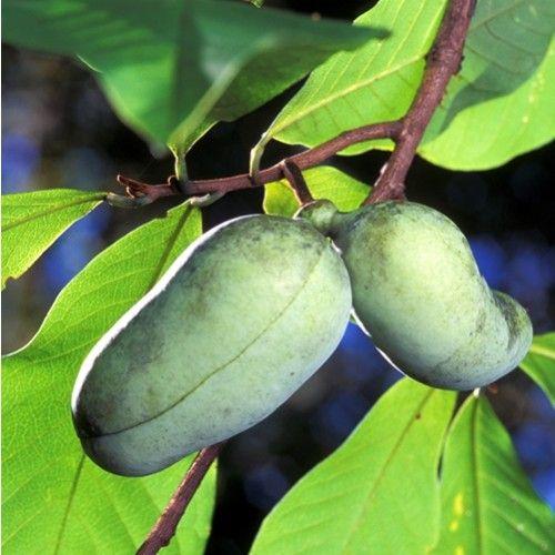 Indián banán, Asimina triloba 40-60 cm - gyümölcstermők - Virág-online.hu. Kert, dísznövény,virág ?! Kertészeti webáruház.