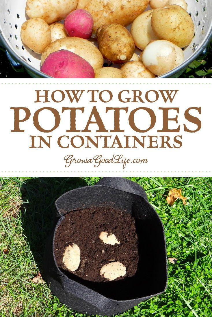 How To Grow Potatoes In Containers Container Potatoes Grow Potatoes In Container Growing Potatoes