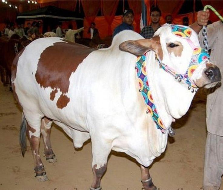 Beautiful Cattle Eid Ul Adha Mubarak Image