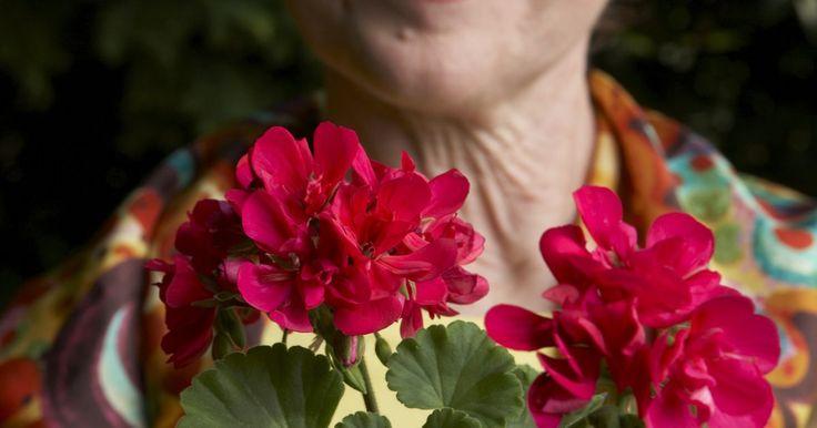 Cómo cuidar de un geranio. Puedes cultivar geranios en macetas, canastas o en el suelo. Esta especie florece desde fines de mayo (en el hemisferio Norte) hasta que aparecen las primeras heladas, pero en algunas regiones pueden florecer casi todo el año. Los geranios rojos son la variedad más cultivada, pero también existen de color rosa, fucsia, blanco, coral o multicolor. ...