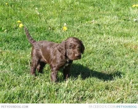 Deutscher Wachtelhund | Dog Pictures & Videos - Funny, Cute, Wacky ...