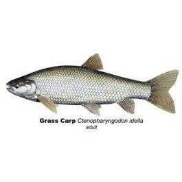 Buy Triploid Grass Carp for Sale in New York | Smith Creek Fish Farm