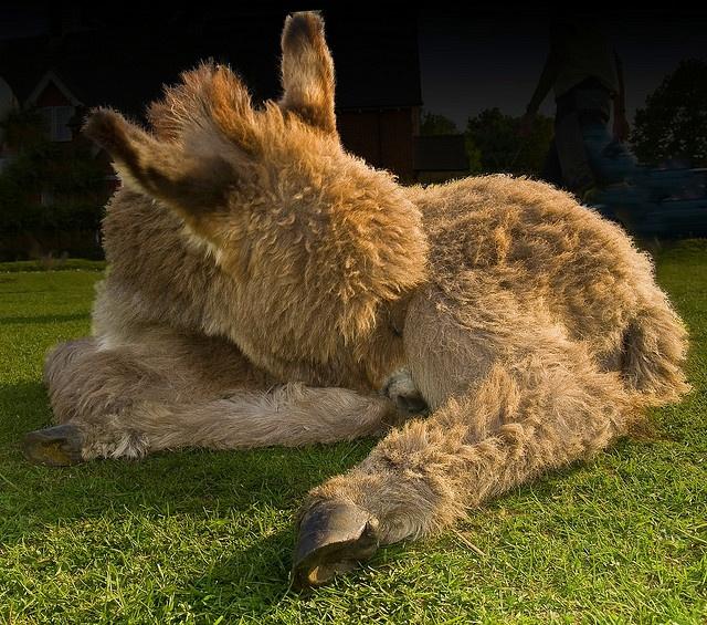 Sleepy donkey foal by Anguskirk, via Flickr