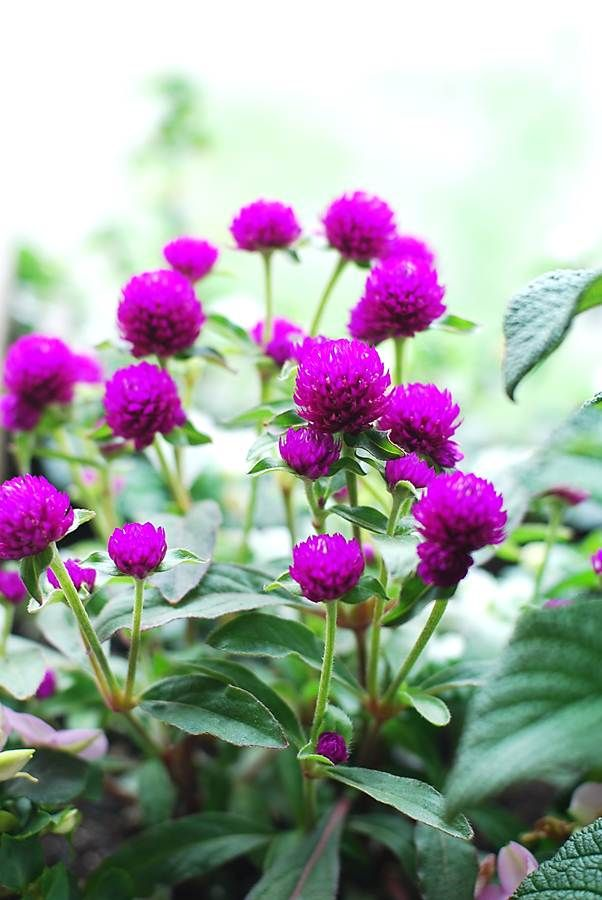 14 Best images about Gomphrena on Pinterest