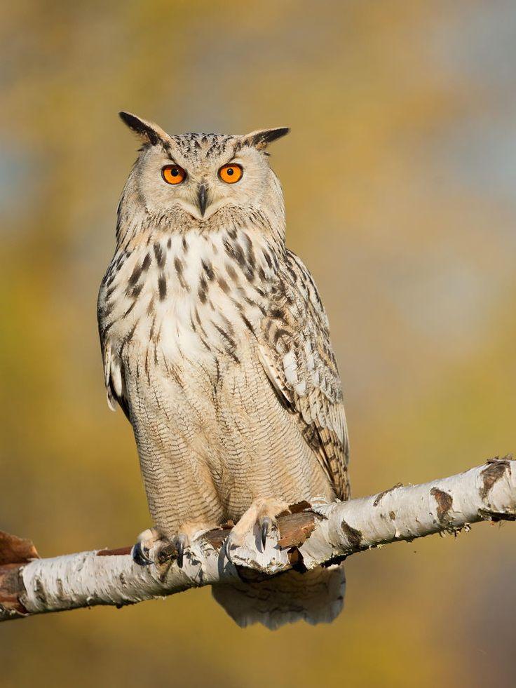 Grand-duc d'Europe (Sibiricus) - Eurasian Eagle-Owl (sibiricus) - Siberiano Búho Real ( Bubo bubo sibiricus ) by Milan Zygmunt on 500px