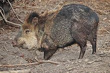 Wiki article on javelinas