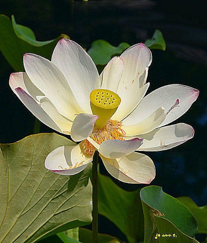 Lotus Flower Flowers Amp Bouquets Pinterest