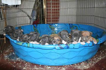 PITBULL PUPPIES For Sale, AMERICAN BULLY PIT BULLS, Blue Nose, GA, Georgia