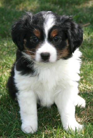 miniature aussies for sale in texas | Toy Mini Australian Shepherd Pups For Sale CO | Tug@YurHart