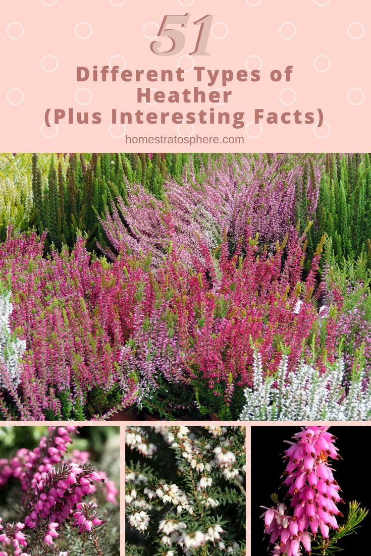 51 Different Types Of Heather Plus Interesting Facts Heather Gardens Heather Flower Heather Plant