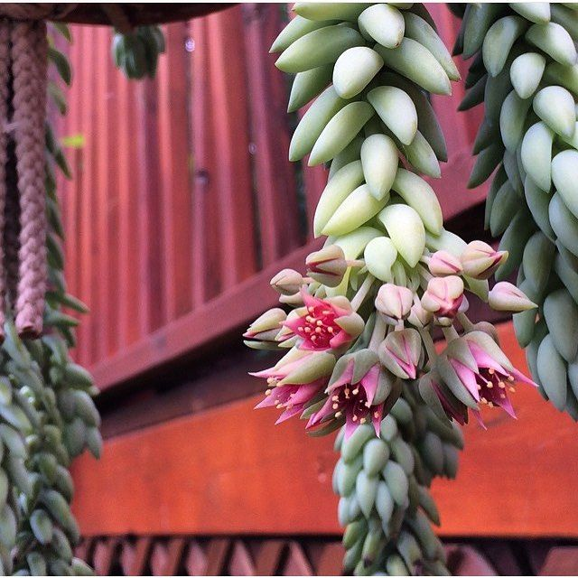 Burro's tail in bloom ☺️#leafandclay #succulents #burrostail (: @rjmegraw)