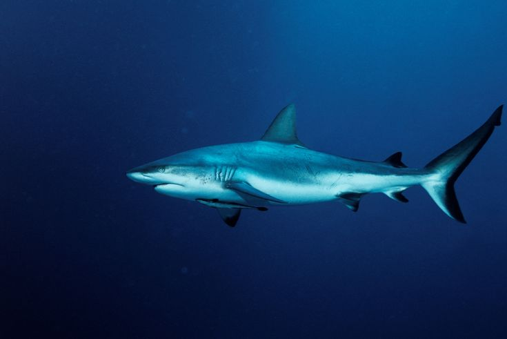 shark images and pictures