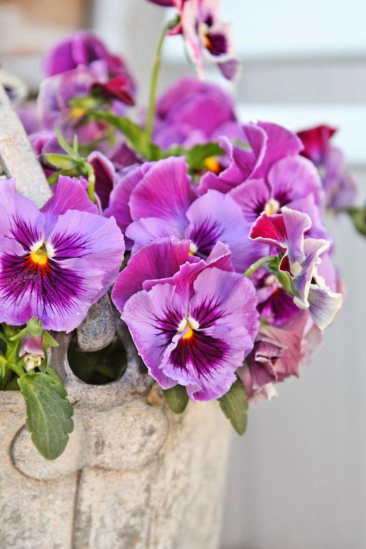 25+ Parasta Ideaa: Stiefmütterchen Pflanzen Pinterestissä | Garten ... Garten Stiefmuetterchen Ratgeber Pflanzen