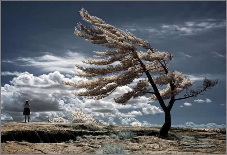 Fascinating and beautiful  Lone Pine shaped by leaning into the harsh winds... Frank Lemire, via 500px