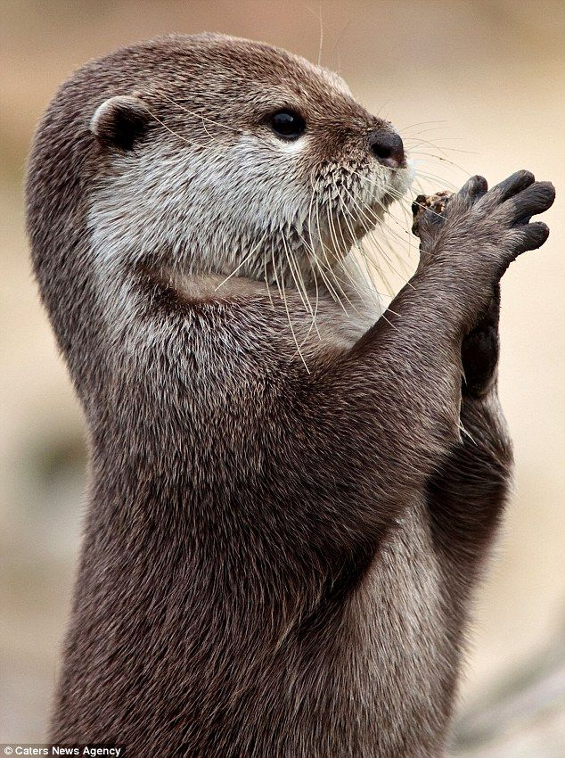 ~~Fetch: Photographer Marac Andrev Kolodzinski captured the image as the otter tried to catch a stone, pictured here in his paws~~
