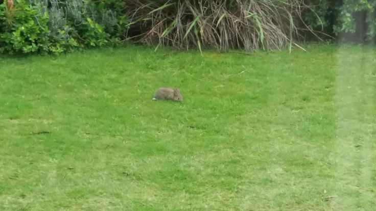 This is a small rabbit eating grass on the front lawn.