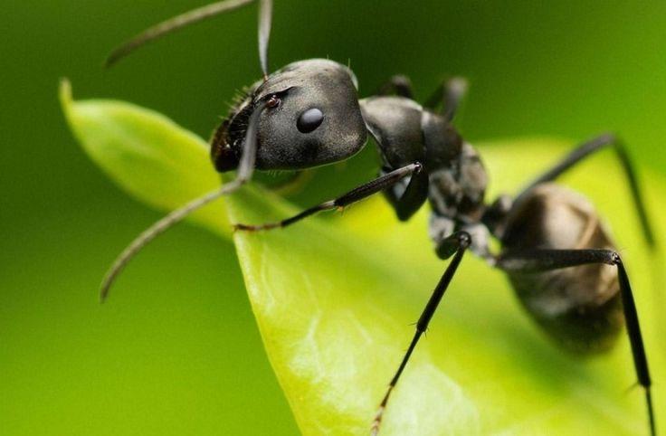 Как избавиться от муравьев в доме