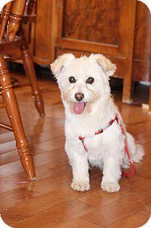 Toronto/GTA, ON - Shih Tzu/Maltese Mix. Meet SIU, a dog for adoption. http://www.adoptapet.com/pet/18246611-torontogta-ontario-shih-tzu-mix