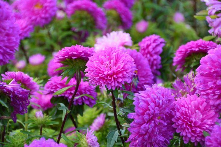 Kwiaty powszechnie znane jako astry, to gwiazdosze chińskie. Kamilaszostak1985 - pixabay.com