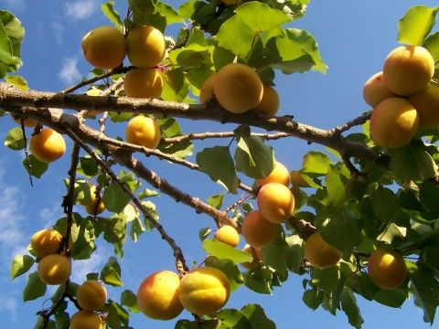 HOW DO YOU LIKE YOUR APRICOTS?