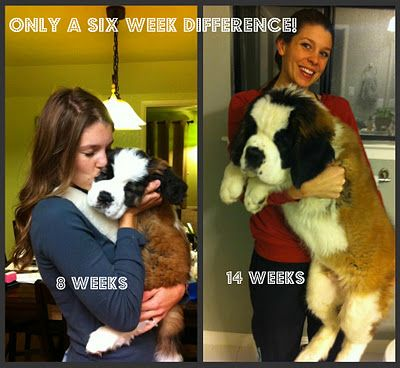 They grow so fast! #StBernard #puppies This reminds me of our Maggie :( My aunt's St. Bernard is almost 8 and was just diagnosed with an osteosarcoma :(