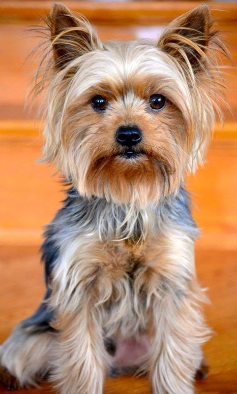 Yorkie sassy lassie: