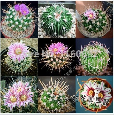 flower pots planters 10seeds of mini cactus plants flowering succulent plants bonsai tree succulent seeds for mini home garden